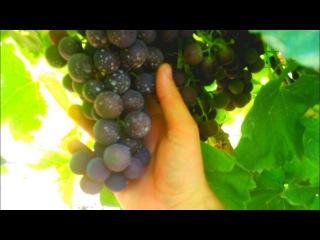 ОБЗОР виноградника, Август 2017 (часть 5) #Аркадия, #Лора, #Мишель