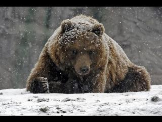 Убийство медведя в Якутии: преступление или подвиг?
