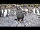Тюлень изнасиловал пингвина на глазах у всей стаи brazzers порно секс эротика сиськи попка домашнее шлюха минет сперма
