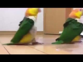 Армия попугаев