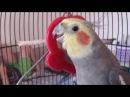 Говорящий попугай Корелла поёт по-армянски смотреть всем