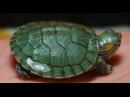 Рацион правильного питания красноухих черепах Подробное меню Diet proper nutrition red turtles