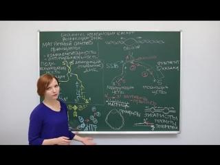 Биология. Биосинтез нуклеиновых кислот. Репликация ДНК. Центр онлайн-обучения «Ф