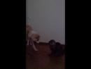 Кот борец сумо