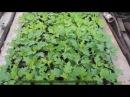 Как черенковать хризантему правильно
