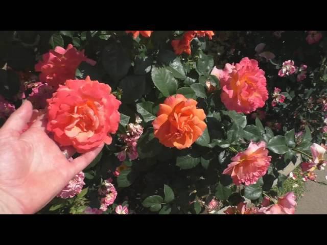 Цветение роз обзор сортов