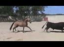 Боевой бык против коня