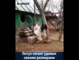 В Интернете набирает популярность видео, на котором запечатлен петух необыкновен ( 800 X 640 ).mp4