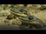 Крокодилица несет детенышей в пасти в воду