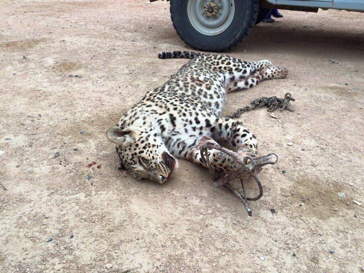 ЧП в Таганроге: Застрелили леопарда, сбежавшего из «живого уголка» и напавшего на женщину