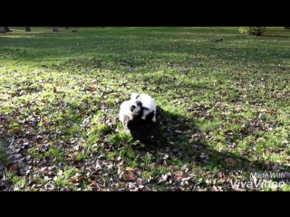 японский хин. щенята. Бостон и Бонита