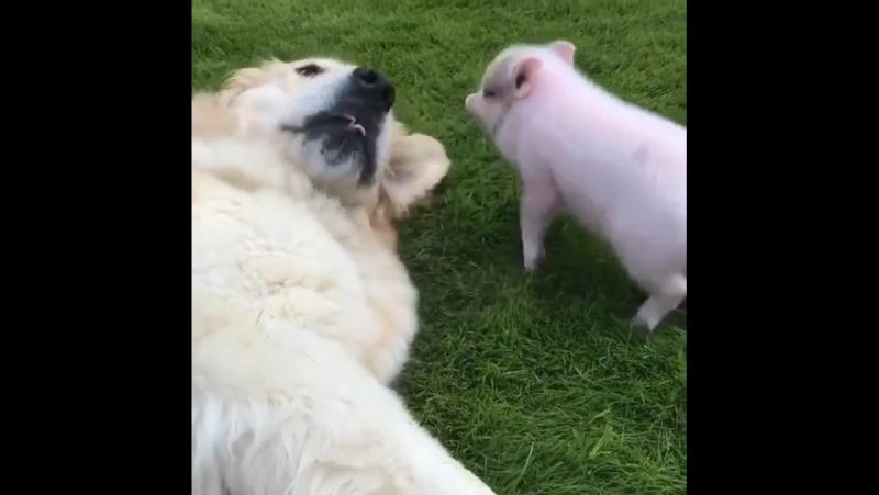 Собакен и поросёнок