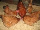 Мини мясная порода кур Пополнение в хозяйстве Есть вопрос