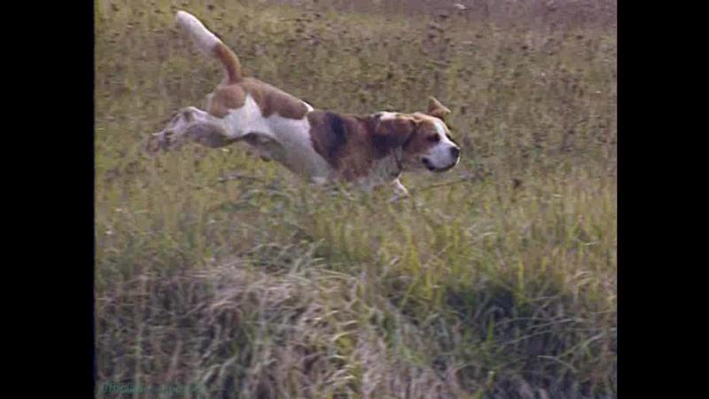 «Собаки. Охотничьи: Бигль» (Познавательный, животные, кинология, 1999)