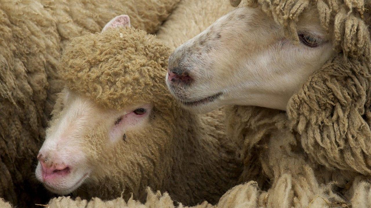 В Ростовской области задержана отара овец без документов