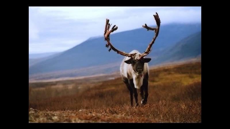 Нярма - фильм о суровых буднях оленеводов Северного Урала.