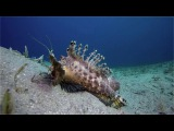 Red Sea Scorpion Fish Vital BazarovInimicus filamentosusEgyptDahabРыба семейства Скорпеновых
