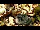 Моя первая,в этом году,встреча с ядовитым Щитомордником-17.05.17г.авт.Игорь Жабский