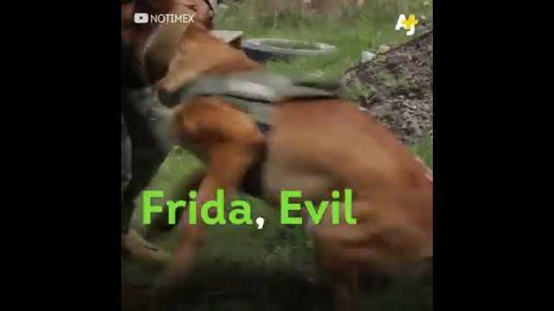 Frida la perrita rescato a 52 personas en Sismo CDMX