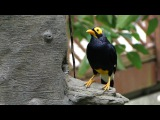Yellow-faced myna Желтолицый мино Mino dumontii