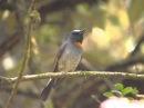 Rufous gorgeted flycatcher Оранжевогорлая мухоловка Ficedula strophiata