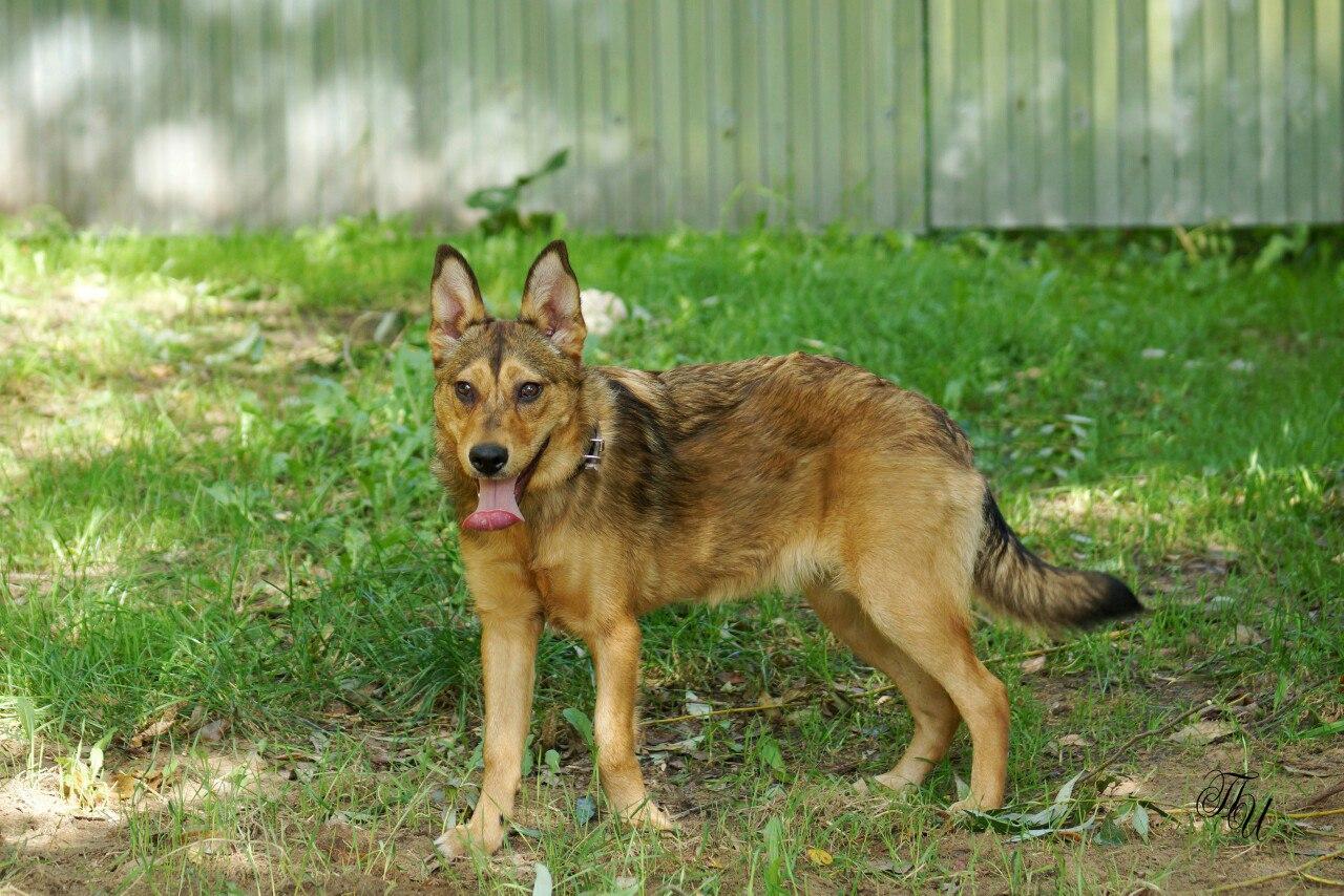 Собака ищет дом   Сая Фото (Коломна) Собака даром