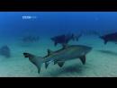 BBC Natural World 2005 - Shark Coast (PDTV Xvid)
