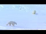 FLIRTING POLAR BEARS - VERY FUNNY! From Polar Bear Spy on the Ice