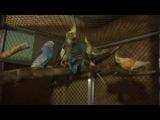 Выставочные волнистые попугаи чехи в вольере с кореллами и канарейками.