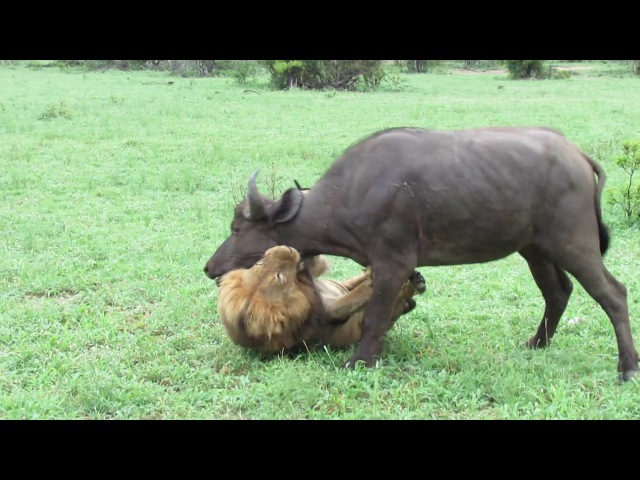 EXTREMELY RARE Fearless Male Lion attacks Buffalo Herd ALONE