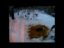 Волчье логово волки