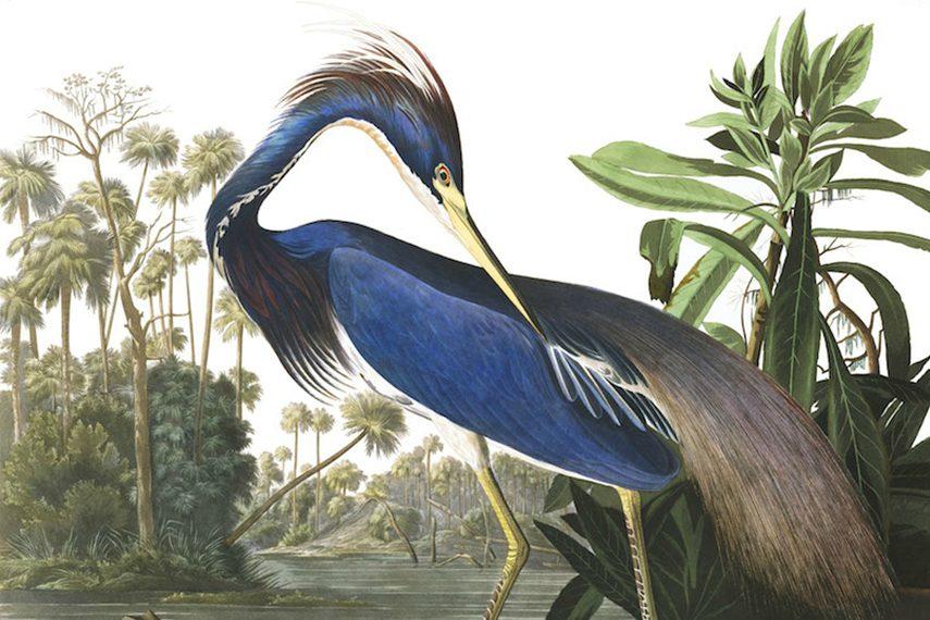 Джон Джеймс Одюбон – Луизианская цапля, 1844