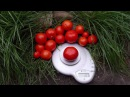 Сорт томата Белый налив
