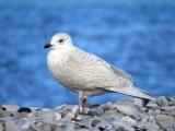 Iceland Gull / Полярная чайка / Larus glaucoides
