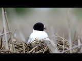 Little Gull / Малая чайка / Hydrocoloeus minutus