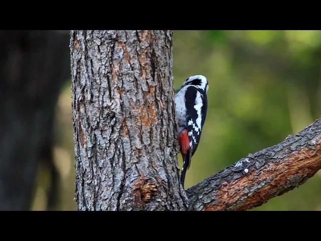 Syrian Woodpecker / Сирийский дятел / Dendrocopos syriacus