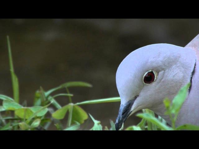 Eurasian Collared-dove / Кольчатая горлица / Streptopelia decaocto