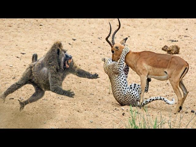 Удивительные бабуины спасают Импалу от нападения гепарда в Африке