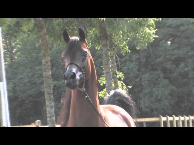Arabian horse Арабские лошади