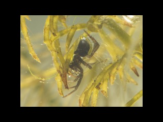 Diving bell spiders - spinning web underwater