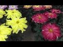 Chrysanthemum flower festival in Japan, Kiku Matsuri