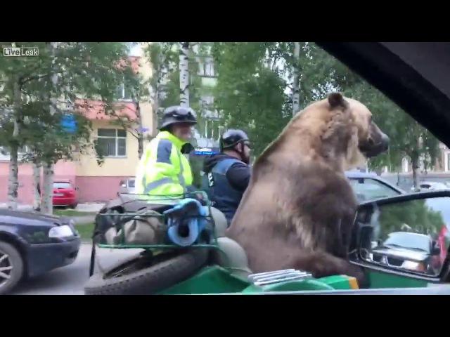 Медведь в мотоцикле, едет по Архангельску