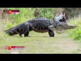Гигантский аллигатор перешел дорогу туристам.
