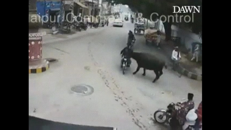 Корова беспредельщица
