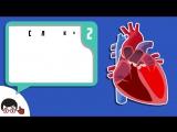 Аускультация сердца (основные тоны)