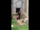 Красная панда приветствует камень