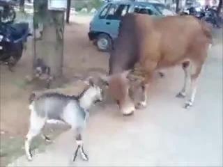 Когда матадор-козёл! (в обоих смыслах) :)