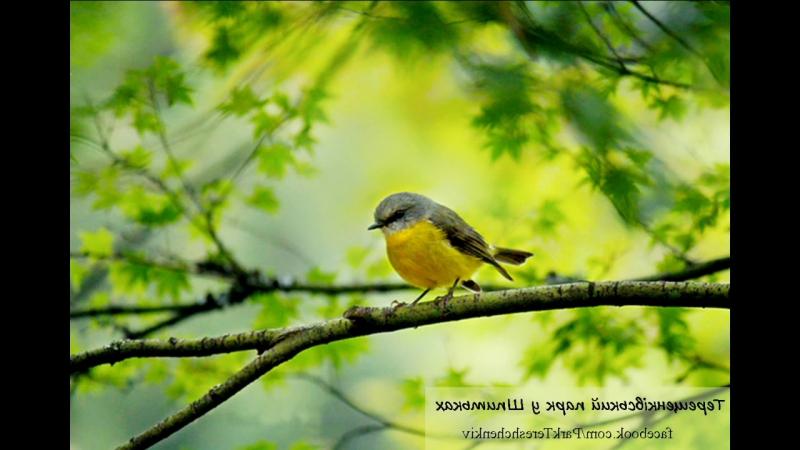 спів птахів