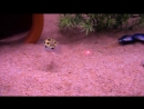 Не только кошки играют с лазерной указкой