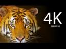 Прекрасная природа Мир диких животных в 4K качестве